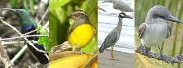 local birds - Green throated humming bird, bananaquit, yellow crowned night heron, grey kingbird