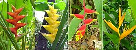 many varieties of heliconia grow wild throughout Dominica