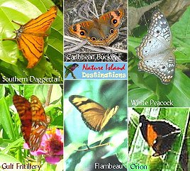 some of Dominica's most common butterflies