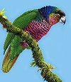 Sisserou Parrot - unique to Dominica